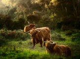 Autumn Morning with Highland Cattle