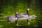 Barnacle Geese Couple with Goslings