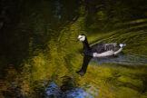 Barnacle Goose Swimming in Forest Reflections