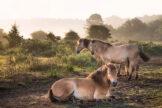 Bay Horses in Morning Glow