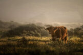 Bull in Misty Field at Sunrise