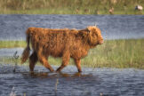 Calf Walking Through Pond