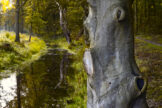 Carved Beech Tree at Forest Stream