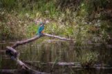 Common Kingfisher in Autumn Pond