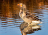 Copper Glow Greylag Goose Couple