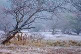 Crooked Oaks in Frosty Field