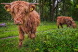 Curious Scottish Highland Yearling Bull