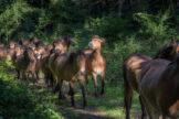 Dense Herd of Horses