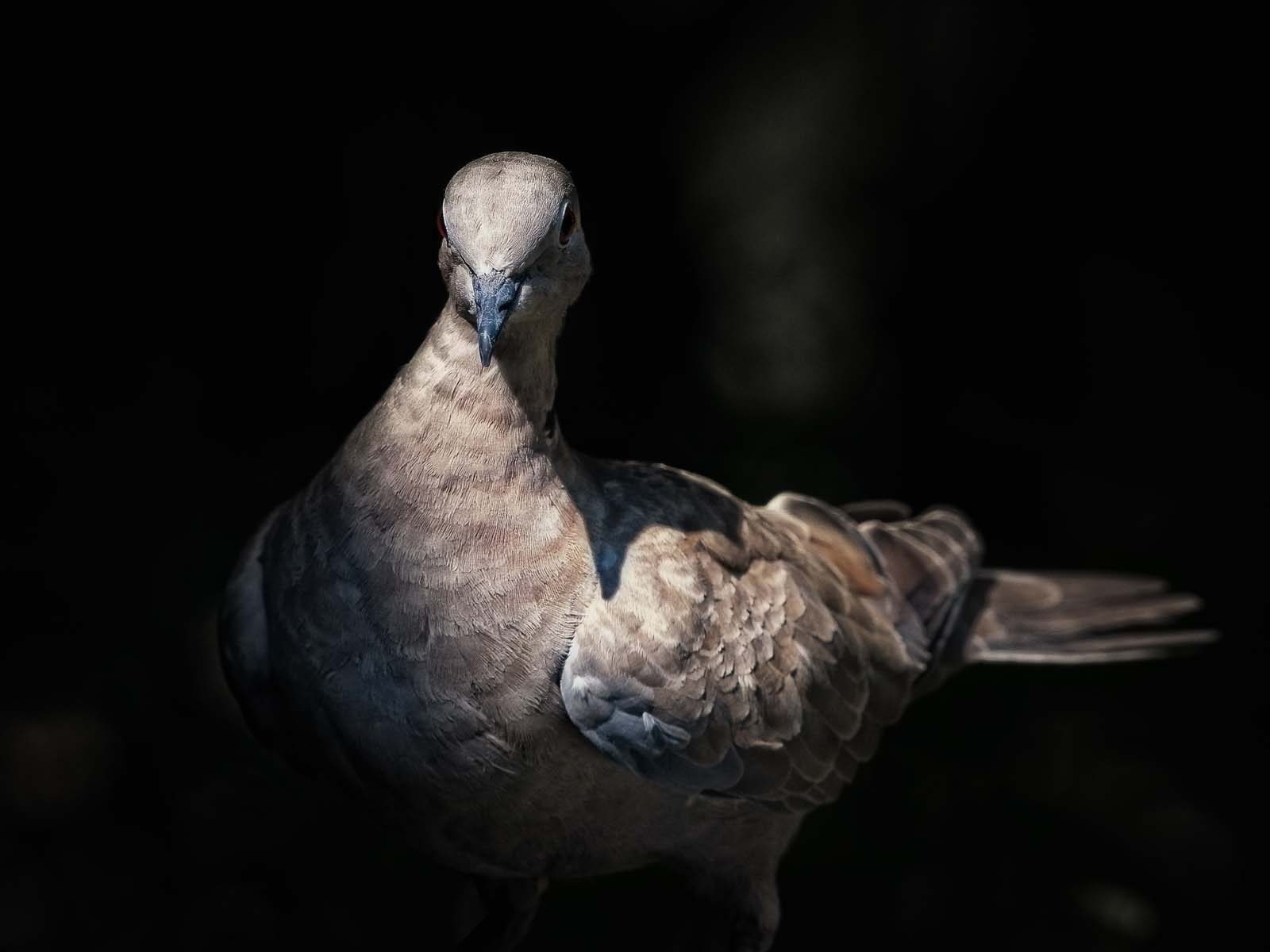 dove in dramatic lighting