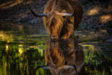 Drinking Cow in Dappled Light
