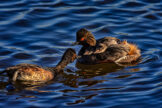 Eared Grebe Father Feeding the Young Carried on the Mothers Back