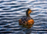 Eared Grebe in Full Splendor