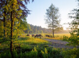 Early Summer Morning with Horses Grazing at the Edge of the Natural Reserve