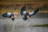 Egyptian Geese Gliding in for Landing