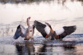 Egyptian Geese Quarrelling