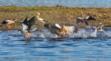 Egyptian Geese in Territorial Fight