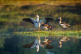Egyptian Goose Family on Sunny Little Island