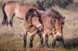 Exmoor Ponies Horsing About