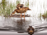 Female Mallard Stretching Before Swimming Off
