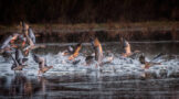 Geese Taking off from Pond in Winter Morning Light
