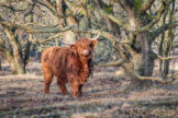 Gnarled Oak Trees with Highland Cow