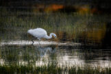 Great White Egret Hunting at Daybreak in a Shallow Pond