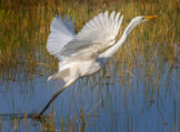 Great White Egret Taking off from a Pond