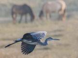 Grey Heron Flyby