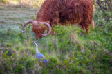 Grey Heron Foraging Next to Grazing Highland Bull