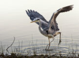 Grey Heron Landing Awkwardly amid Stalks