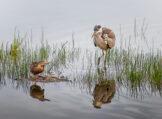 Grey Heron Stalking a Mallard