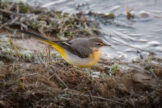 Grey Wagtail at Edge of Winter Pond