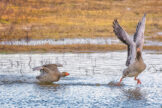 Greylag Geese Chasing Each Other in a Pond
