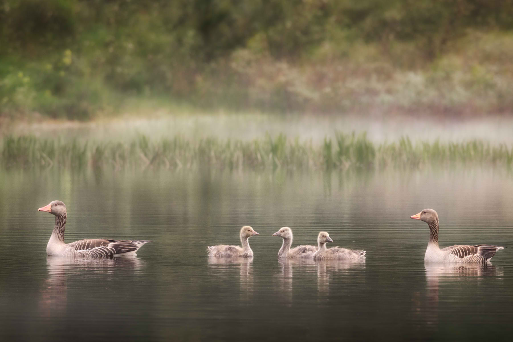 greylag goose family in misty pond