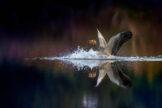 Greylag Goose Splash Landing
