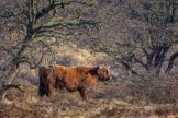 Highland Bull Amid a Tangle of Branches