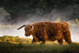 Highland Bull Getting up at Sunrise