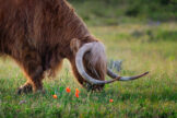 Highland Bull Grazing Amid Summer Flowers