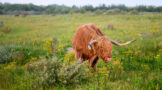 Highland Bull Grazing in Lush Summer Meadow