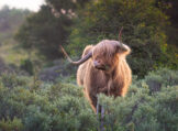 Highland Bull Scratching Itself on a Bush Stump