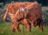 Highland Bull Turning Backwards