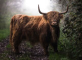 Highland Bull in Morning Fog