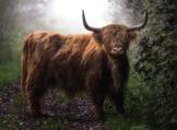 Highland Bull in Morning Fog