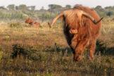 Highland Bull in Summer Meadow