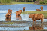 Highland Cattle Cooling Themselves in a Pond