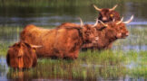 Highland Cattle Neatly Lined up in a Pond