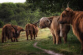 Highland Cattle on Forest Path