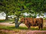 Highland Cow Under Oak Tree