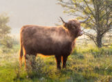 Highland Cow Wrapped in Breath Vapor and Morning Light