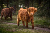Highland Heifer and Cow Walking By